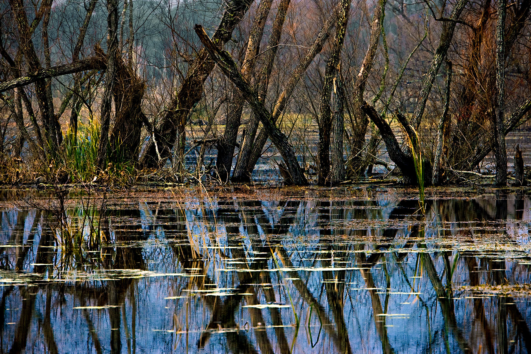 bare-trees-reeds-reflected-in-marsh