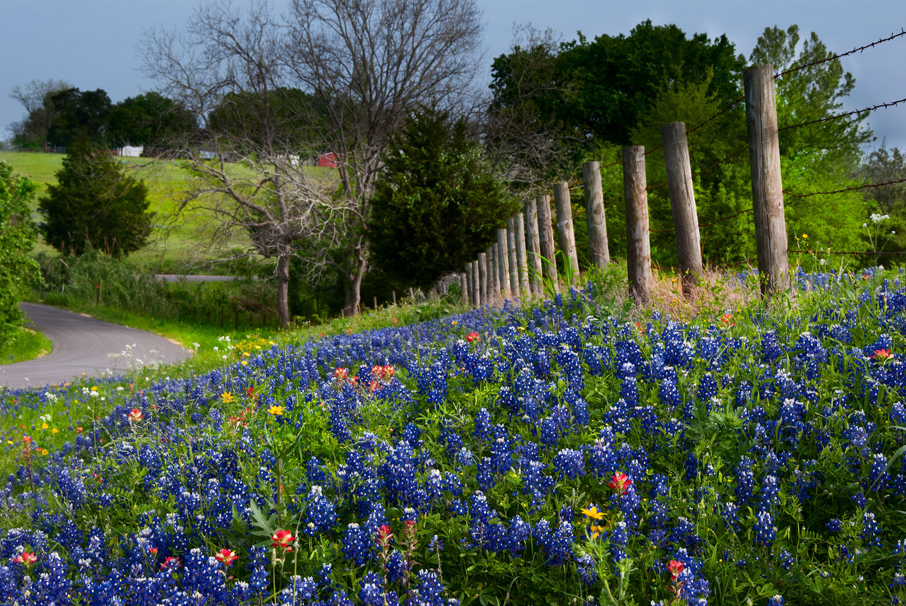 bluebonnets-wildflowers-fence-road-Texas